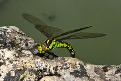 Southern hawker (Aeshna cyanea) ovipositing. Large female insect in the order Odonata, family Aeshnidae, laying eggs on the margin of a pond royalty free stock images