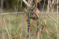 Southern hawker - Aeshna cyanea Stock Photography