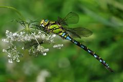Southern hawker or blue hawker & x28;Aeshna cyanea& x29;. The southern hawker or blue hawker & x28;Aeshna cyanea& x29; perched on a white flower with green Stock Image