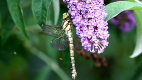 The Southern Hawker upon a buddleja, Holland stock video