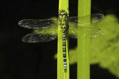 Southern Hawker dragonfly, Aeschna cyanea Royalty Free Stock Photo