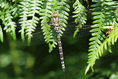 Southern Hawker Dragonfly (Aeshna cyanea). This picture shows a Southern Hawker dragonfly perched on green fronds.This picture was taken in late July in The Royalty Free Stock Photography