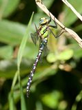 A Southern Hawker, resting in the sunshine. stock photos