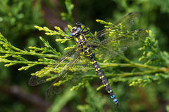 Southern Hawker Dragonfly Stock Images