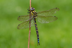 Southern Hawker Dragonfly Royalty Free Stock Image