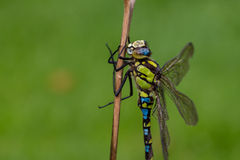 Southern Hawker Dragonfly Stock Image
