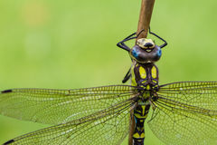 Southern Hawker Dragonfly Stock Photography