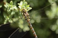 Southern Hawker Dragonfly Stock Photo
