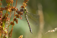 A Southern Hawker dragonfly resting on a seed head. Royalty Free Stock Images