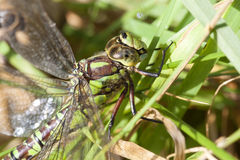 Southern Hawker - grass Royalty Free Stock Photo