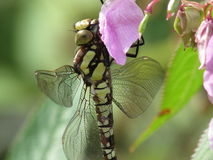 Southern Hawker on Himalayan Balsam Royalty Free Stock Photo