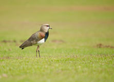 Southern Lapwing. A southern lapwing bird standing alone on a grass field Royalty Free Stock Images