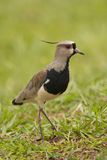 Southern Lapwing Royalty Free Stock Photos