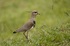 Southern Lapwing Stock Photography