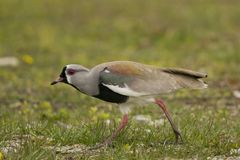 Southern Lapwing Stock Images