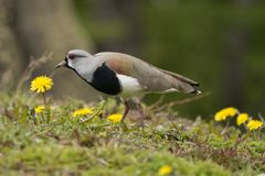 Southern Lapwing Stock Photos