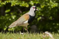 Southern Lapwing Royalty Free Stock Photography