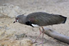 Southern Lapwing. A southern lapwing Stock Photo