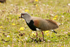 Southern Lapwing Royalty Free Stock Image