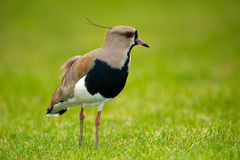 Southern Lapwing in Argentina Stock Photo