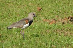 Southern Lapwing bird. On the grass Stock Image Stock Photo