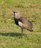 Southern Lapwing bird Stock Image