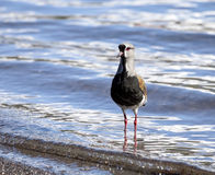 Southern Lapwing, Chile. Wading bird in lake in Pucon, Chile Stock Photo