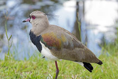 Southern lapwing or Chilean lapwing Royalty Free Stock Photo