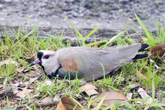 Southern lapwing or Chilean lapwing Royalty Free Stock Image