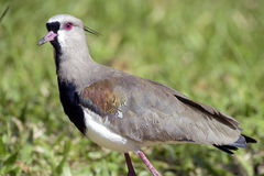 Southern lapwing or Chilean lapwing Royalty Free Stock Images