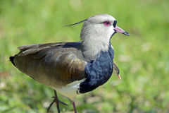 Southern lapwing or Chilean lapwing Stock Photos