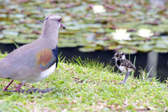 Southern lapwing with cub Royalty Free Stock Photo