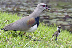 Southern lapwing with cub Stock Image