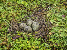 Southern lapwing eggs. Southern lapwing (Vanellus chilensis) eggs in the Chilean Patagonia on winter Royalty Free Stock Photos