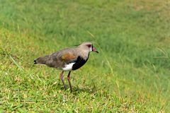 Southern lapwing. The little bird southern lapwing landed on the grass watching to nest Stock Photography