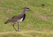 Southern Lapwing Royalty Free Stock Photo