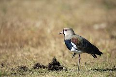 Southern Lapwing on the Ground Royalty Free Stock Photos