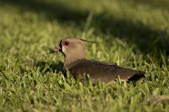 Southern Lapwing sitted on the Grass Stock Images