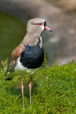 Southern Lapwing. A southern lapwing standing near the water Stock Images