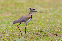 Southern Lapwing on a stroll Stock Photo