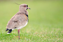 Southern Lapwing (Vanellus chilensis). Stock Photos