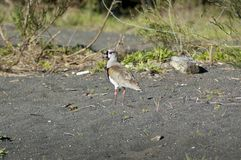 Southern Lapwing (Vanellus chilensis) Stock Photos