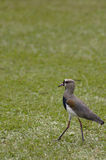 Southern Lapwing (Vanellus chilensis) Stock Image