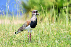 Southern Lapwing Vanellus chilensis Stock Photography