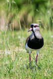 Southern Lapwing Vanellus chilensis Royalty Free Stock Image