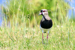 Southern Lapwing & x28;Vanellus chilensis& x29; Royalty Free Stock Photography