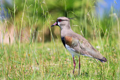 Southern Lapwing & x28;Vanellus chilensis& x29; Stock Image