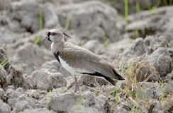 Southern lapwing Vanellus chilensis Stock Photo