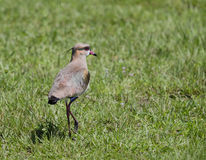 The southern lapwing (vanellus chilensis) Royalty Free Stock Images
