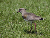 The southern lapwing (vanellus chilensis) Stock Image